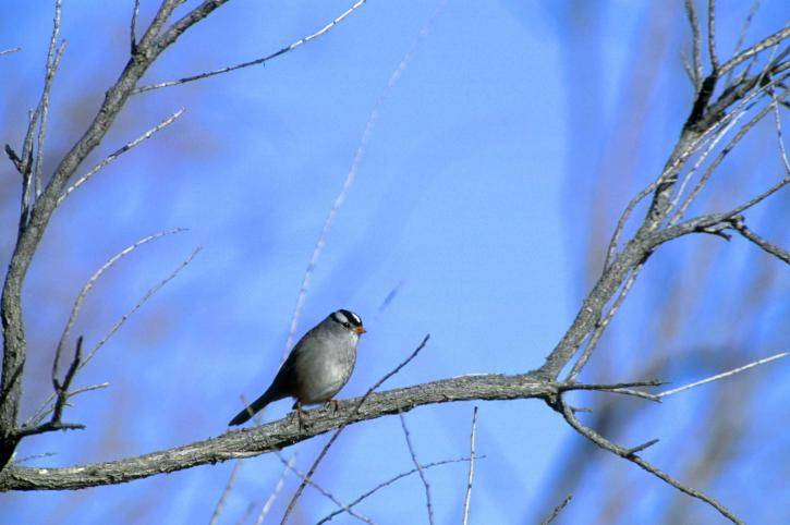 white-crowned-sparrow w725 h482