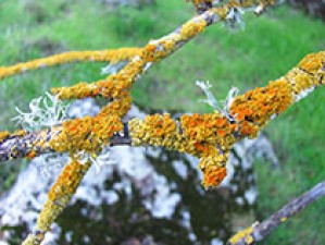 The Laguna is Home to the California State Lichen! Presentation with botanist and lichenologist, Shelly Benson