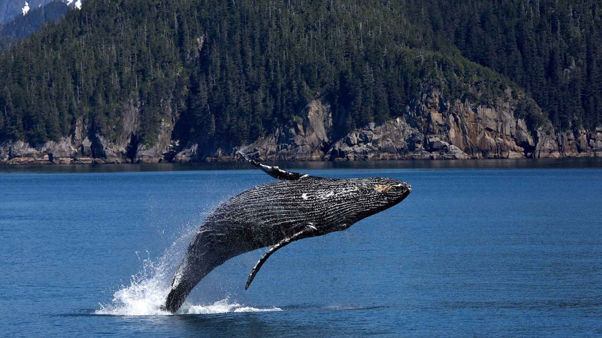 Are Gray Whales the Canary in the Climate Coal Mine?